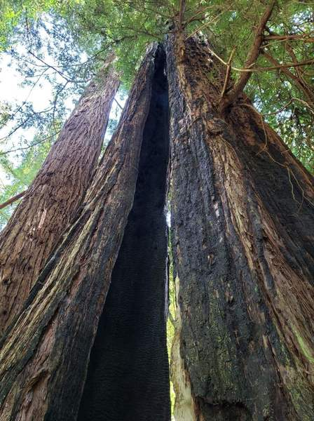 Redwood tree - looks like it was struck by lightning some time ago.