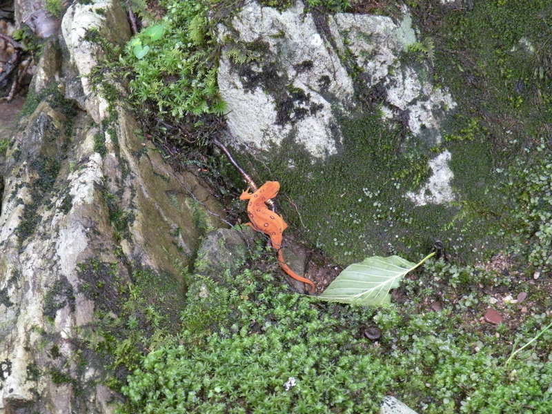 A red spotted newt, or in other words, proof that witches and English serfs live in the Otter Creek Wilderness.