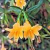Orange Bush Monkeyflower (Diplacus aurantiacus).