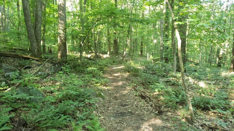 Much of the trail is through open, mature woods.
