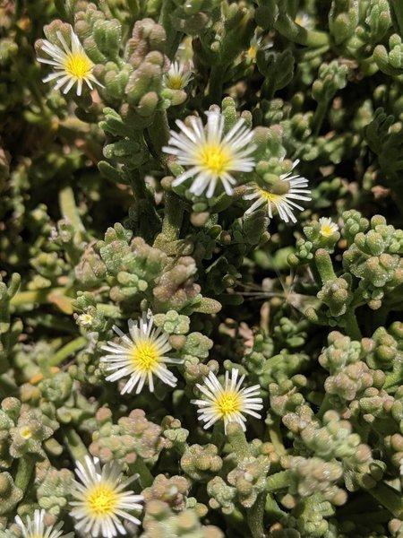 Slender Iceplant (Mesembryanthemum nodiflorum) that grows along the trails.