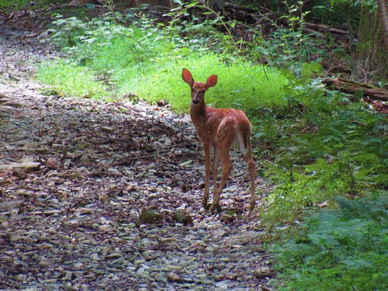 A young fawn along the Horse Fly Alley Trail.