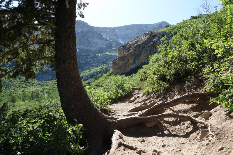 Tree clinging to the mountain side on the trail to Silver Lake