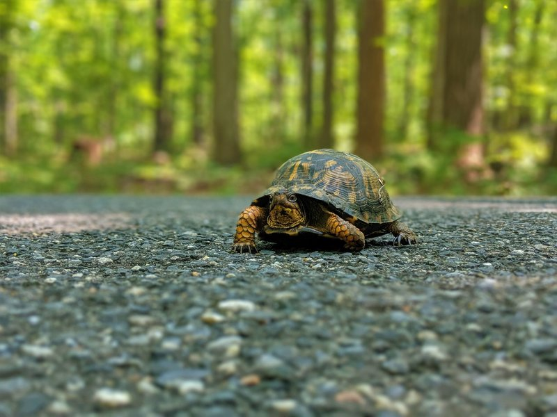 Eastern box turtle crossing the road near the Santee Trail.