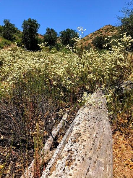 A fallen tree featuring the work of an acorn woodpecker.
