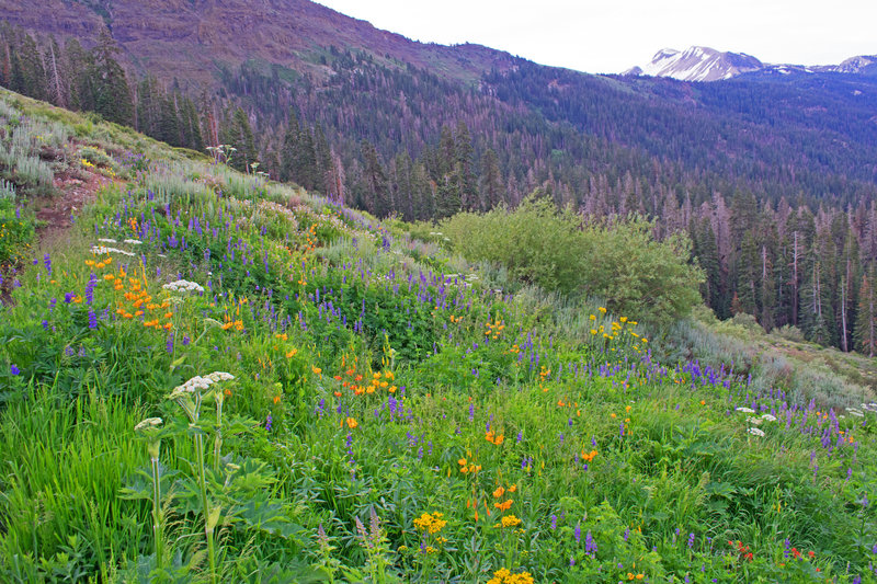 Flowers on the High Trail. Mammoth Mountain in the background.