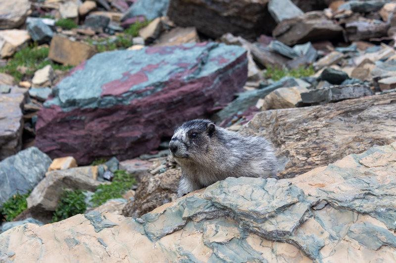 A marmot on Highline Trail