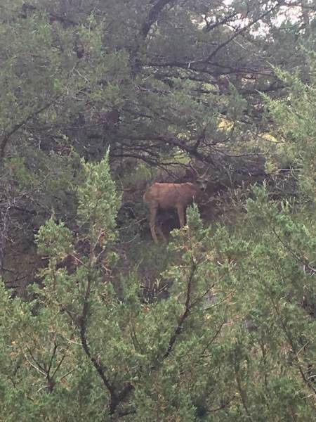 Young male mule deer spotted above Two Pipe