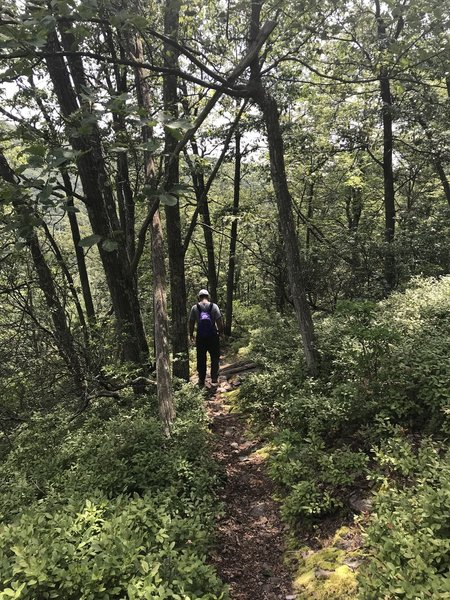 Gorgeous singletrack trail- blueberries in August