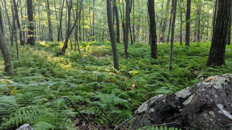 Forest Ferns can be found almost everywhere in this section of Blue Mountain Trail