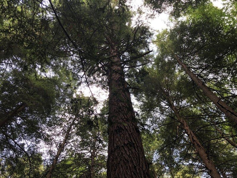Ancient Hemlock Trees