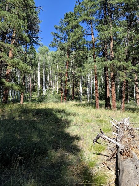 Aspen and ponderosa forest