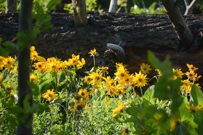 Balsamroot flowers cover much of the lower fields in early summer
