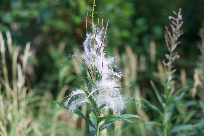 Fireweed turns to seed late in the summer.