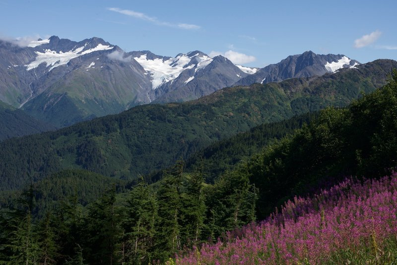 As you climb up the trail, views of the mountains and glaciers start to come into view.  Fireweed can be found along the trail, adding a big of color to the scenery.