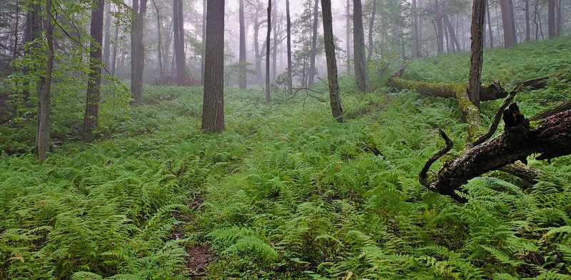 Fog rolls in through an area of dense ferns on Dunnfield Creek Trail