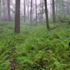 Fog rolls in through an area of dense ferns on Dunnfield Creek Trail