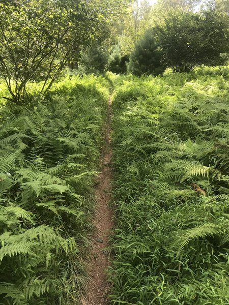 Singletrack through ferns