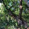Live oak on the trail.