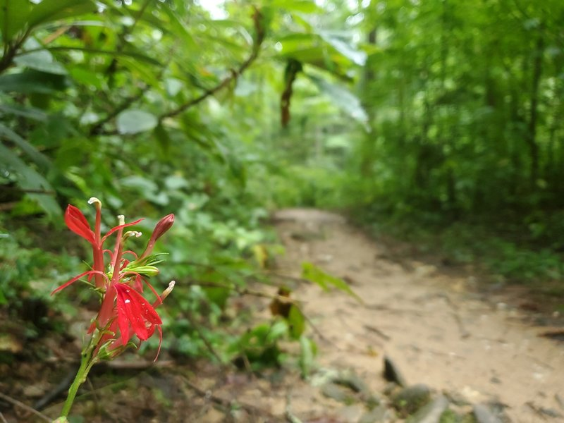 Cardinal flower along Bear Creek Trail.