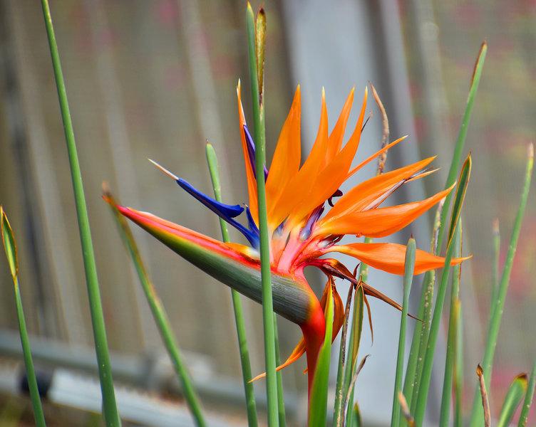 'Bird-Of-Paradise' -- Birmingham (AL) Botanical Gardens February 2019