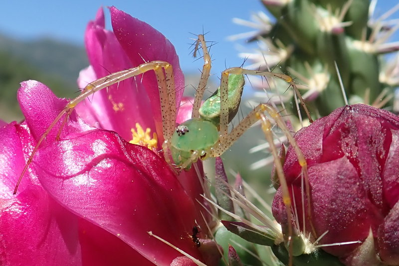 A Green Lynx spider on a Cholla flower in the lower elevations, nearing the junction of the Canada Del Oro #4 trail 08/30/19