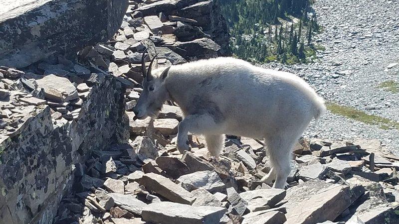 Mountain goat on summit of Scotchman Peak.