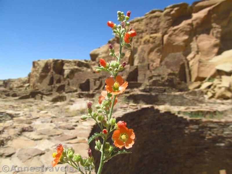 Globmallow flowers inside Pueblo Bonito.