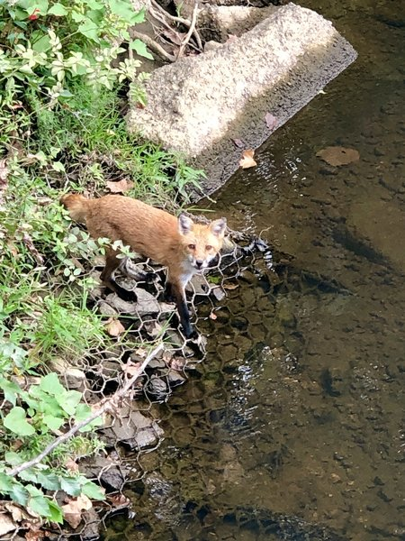I surprised this red fox who was stopping by the creek for a drink.