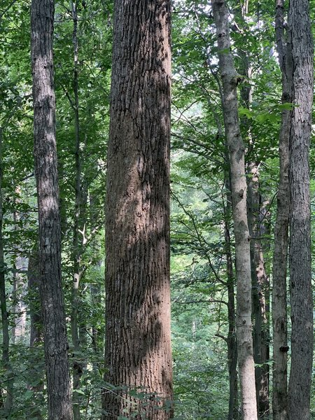 Various oaks, ash, sweetgum, and other hard wood trees.