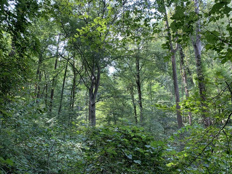 Forest view of mixed hard wood trees.