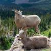 Bighorn sheep in Bighorn Basin near Dawson Pass