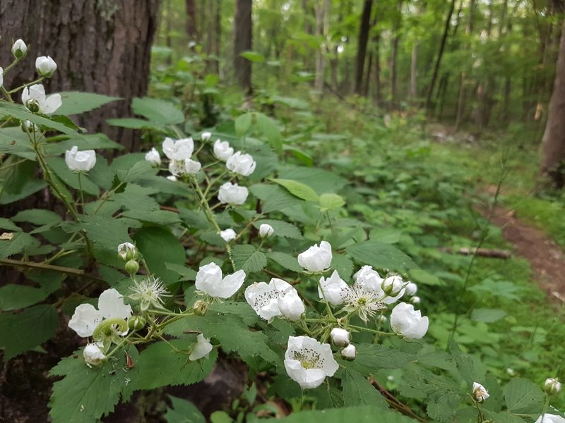 White flowers along the Turkey Hill Preserve Blue Trail.