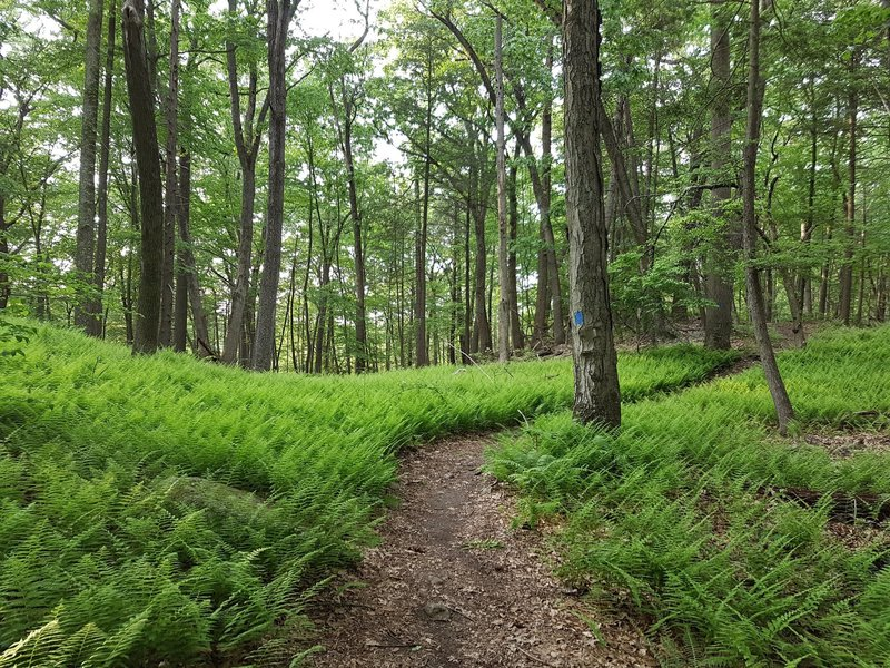 Shrubs along the Blue Trail at Turkey Hill Preserve.