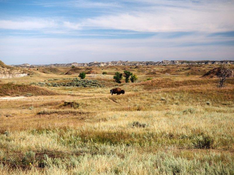 A buffalo blocks the Roundup Trail.