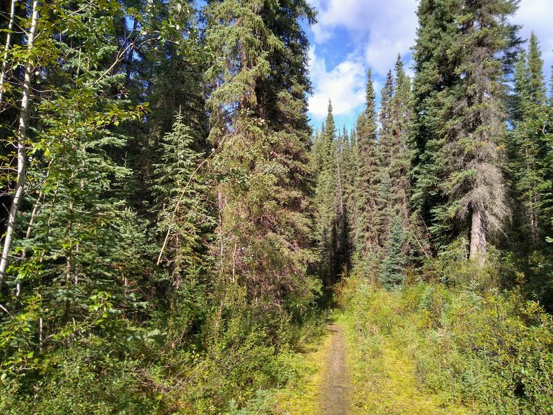 A lot of this section of the North Boundary Trail runs through dense, beautiful fir forest.