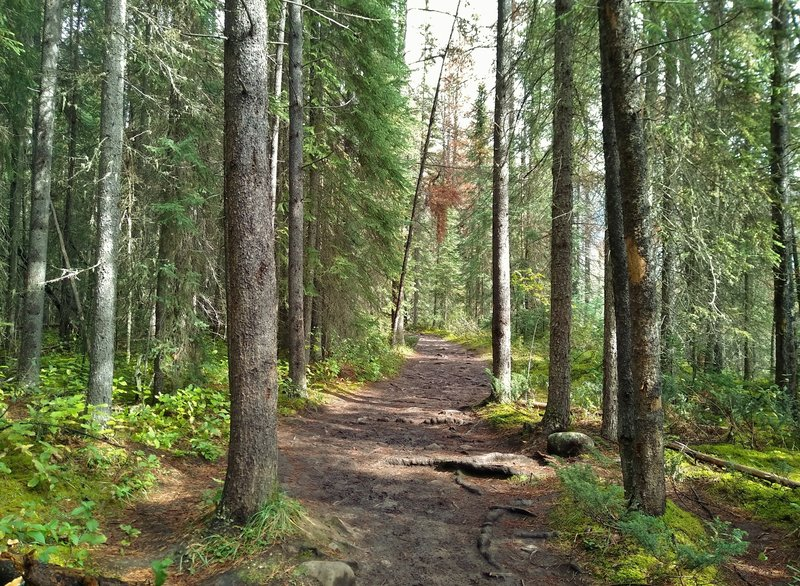 Lower Sunwapta Falls trail runs through the beautiful fir forest.