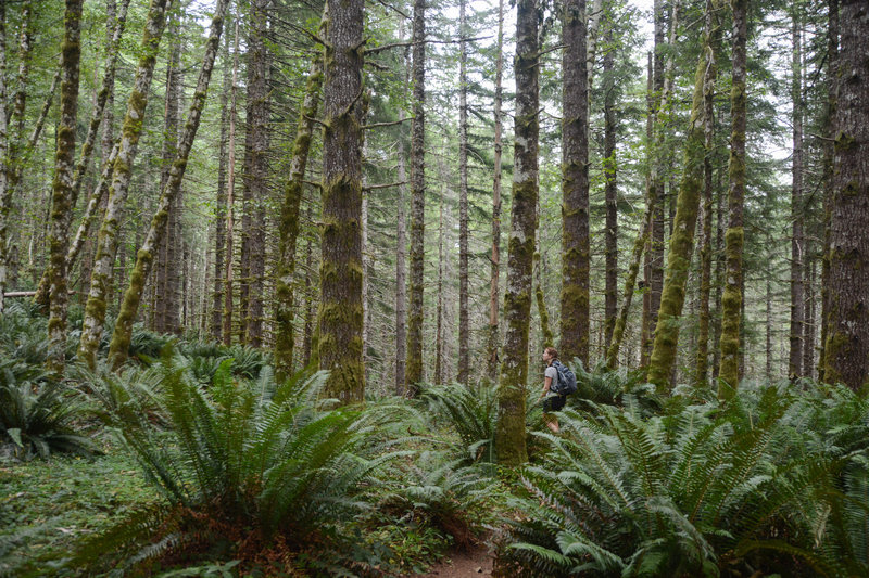 Lush forest and ferns start the Kings Mountain Trail