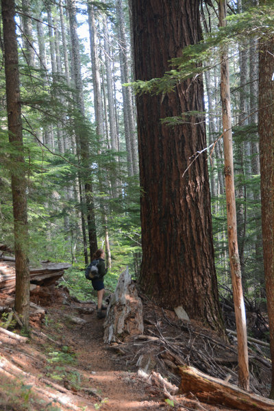 An example of old growth along Observation Trail
