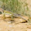 collared lizard Crotaphytus collaris