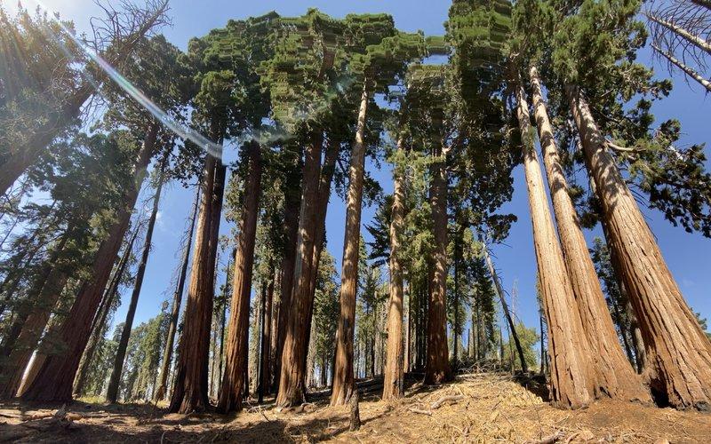 The Giant Sequoias.