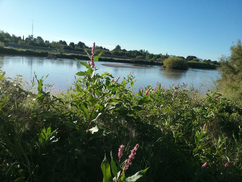The Rio Grande and bistorta in bloom