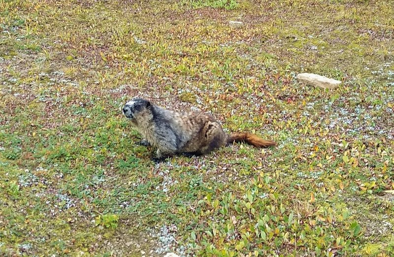 Hoary marmot, in the alpine meadows just southeast of Little Shovel Pass.