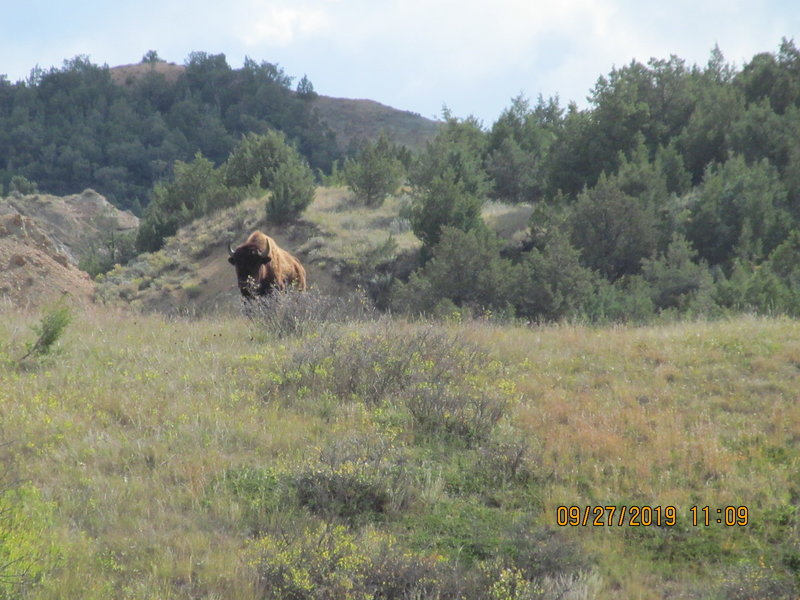A bison on lookout duty for his herd. Painted Canyon Trail near the junction with Upper Paddock Creek Trail.