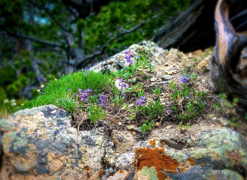 Summer wildflowers along Glacier Gorge Trail.