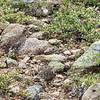 Grouse on a Sunday stroll foraging for pea gravel in the alpine tundra. Can you see them?