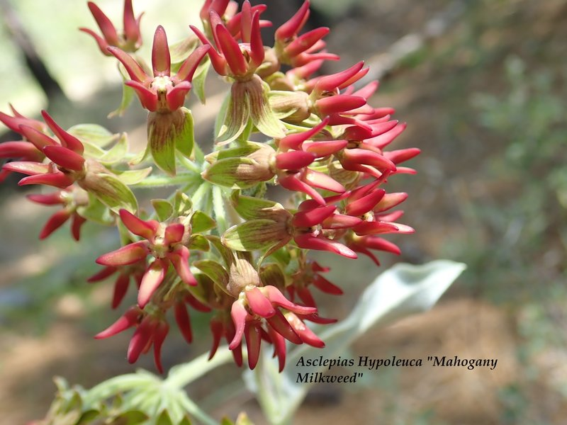 A rare type of milkweed that I photographed near the junction of the #44 and the Lemmon Rock #12 trails