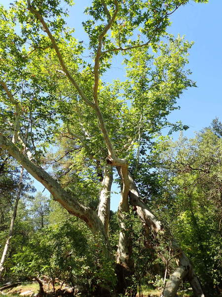Gorgeous monster Sycamore tree near the junction of the Red Ridge #5 and Canada Del Oro # 4 trails