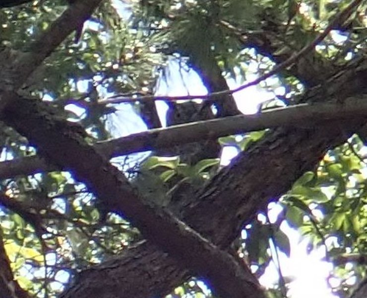 A Great Horned Owl that I was able to spot thanks to a mob of Scrub Jays harassing it in it's tree.