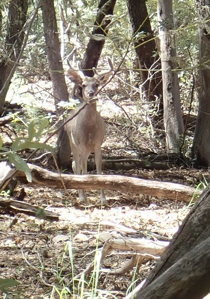 One of countless Coues White Tail Deer I have encountered along the Canada Del Oro #4 trail